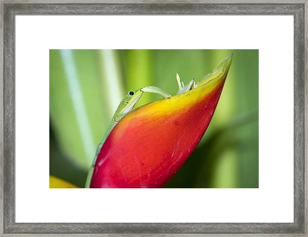 Gold Dust Day Gecko Framed Print