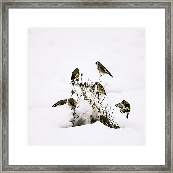 Gold Finches In Snow Framed Print