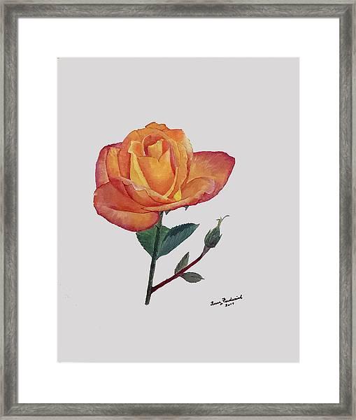 Gold Medal Rose Framed Print