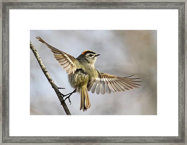 Golden-crowned-kinglet Framed Print
