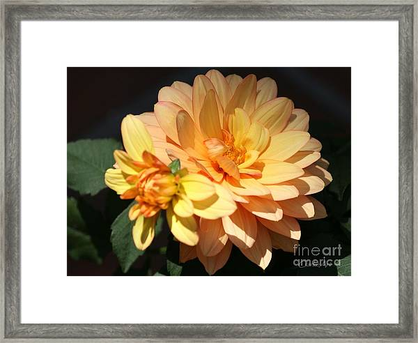 Golden Dahlia With Bud Framed Print