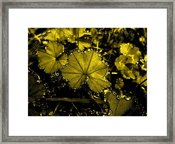 Golden Dew Framed Print