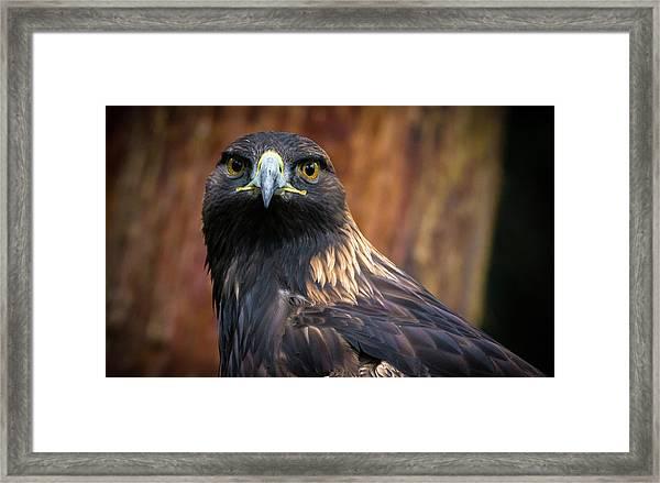 Golden Eagle 1 Framed Print
