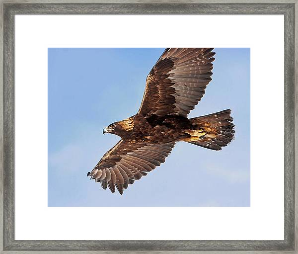 Golden Eagle Flight Framed Print