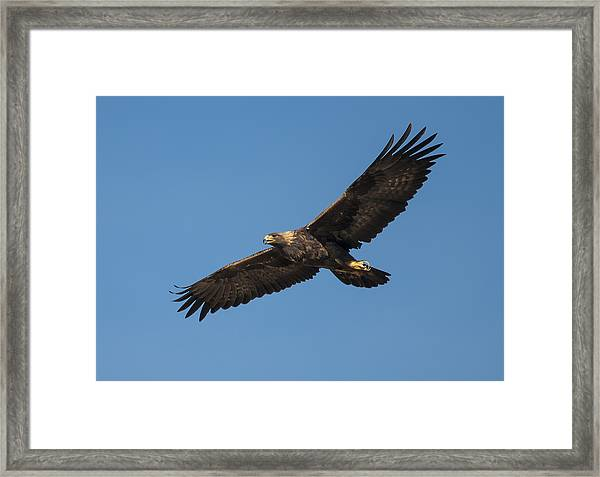 Golden Eagle In Flight Framed Print