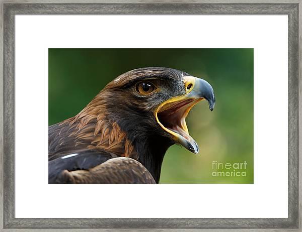 Golden Eagle - Raptor Calling Framed Print