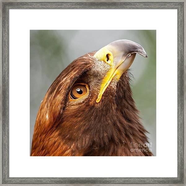 Golden Eagle - Sky Gazer Framed Print