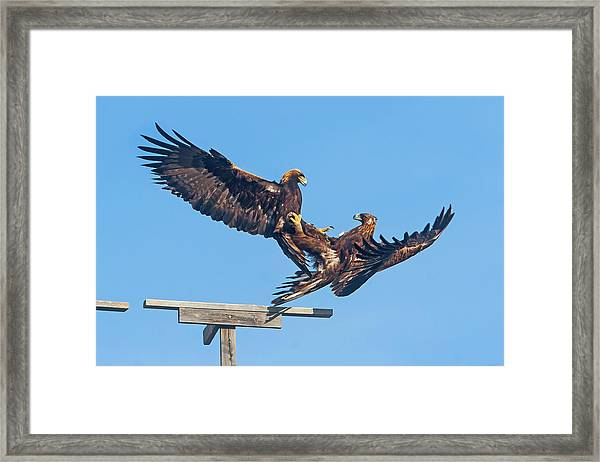 Golden Eagle Courtship Framed Print