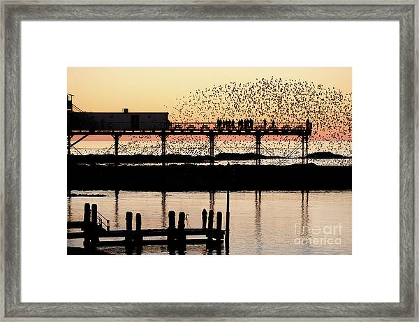 Golden Hour Starlings In Aberystwyth Framed Print