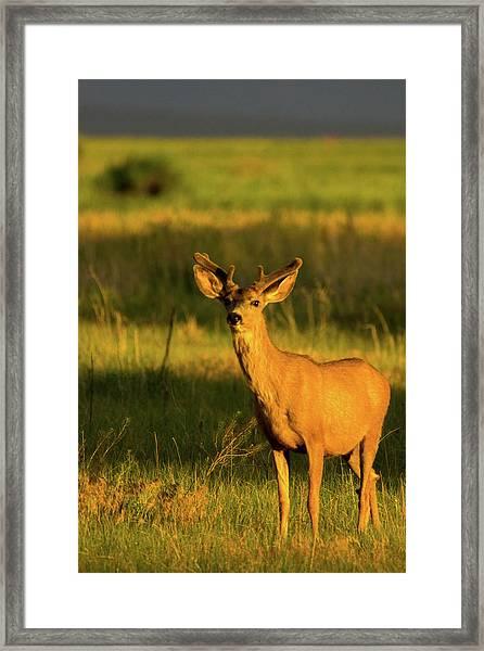 Framed Print featuring the photograph Golden Light Buck II by John De Bord