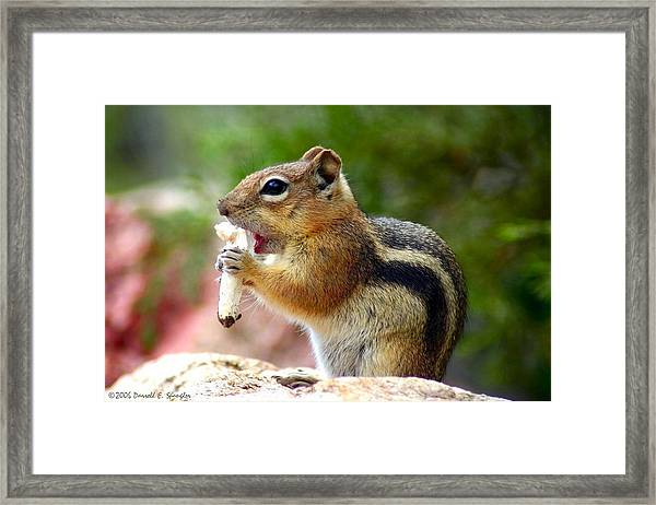 Golden-mantled Ground Squirrel Framed Print