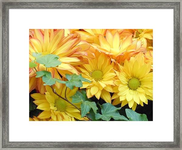 Golden Mums And Ivy Framed Print