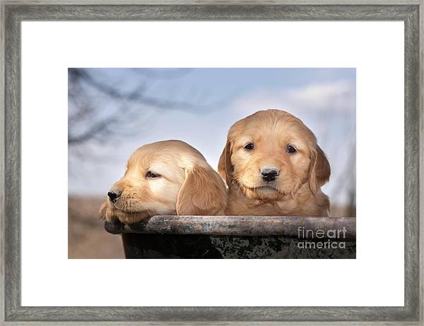 Golden Puppies Framed Print