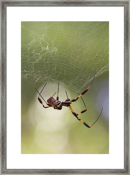 Golden-silk Spider Framed Print