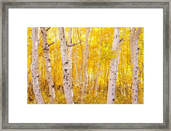 June Lake - Aspen Trees - Golden Trees Framed Print