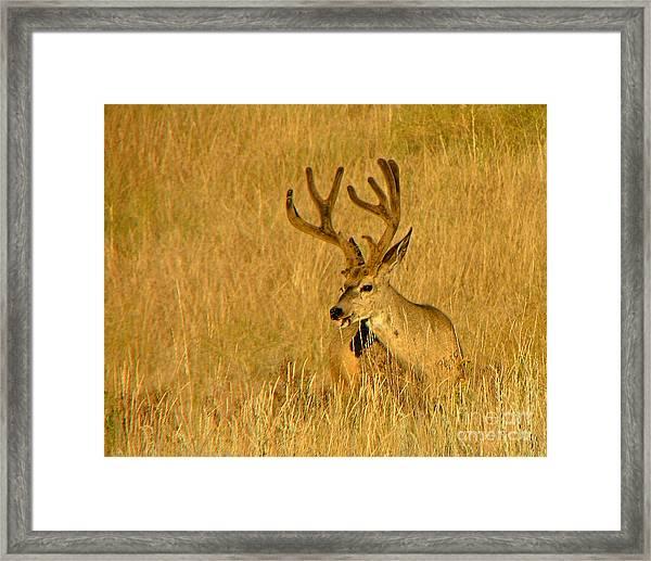 Golden Velvet  Framed Print