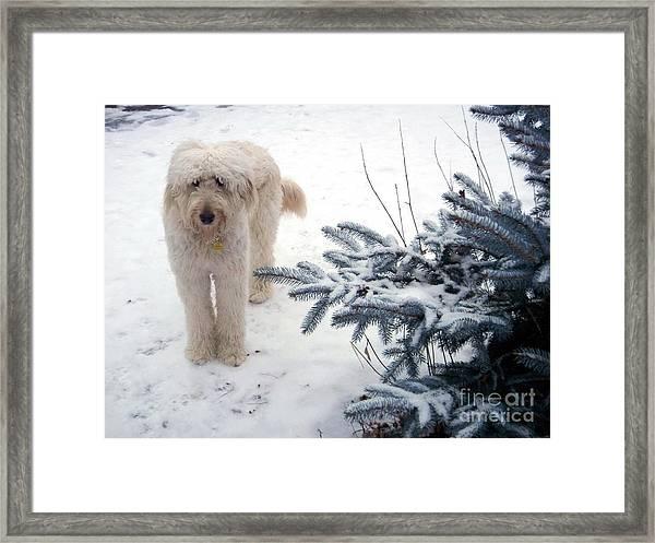 Goldendoodle Framed Print