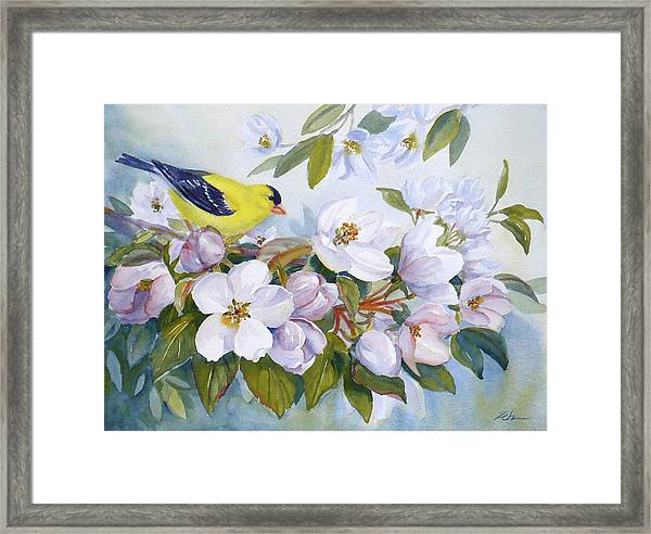 Goldfinch And Crabapple Blossoms Framed Print