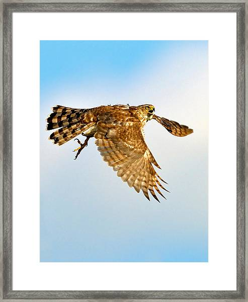 Framed Print featuring the photograph Good Hawk Hunting by William Jobes