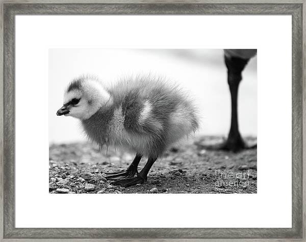 Goose Chick Framed Print
