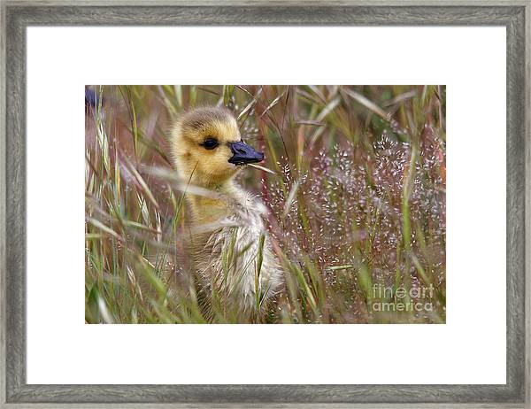 Gosling In The Meadow Framed Print
