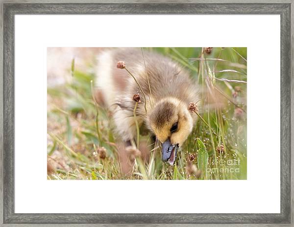 Gosling Nibble Framed Print