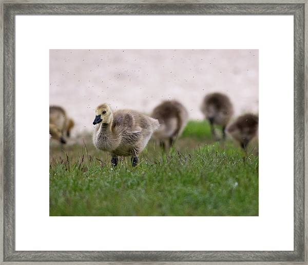 Gosling With Fleas Framed Print
