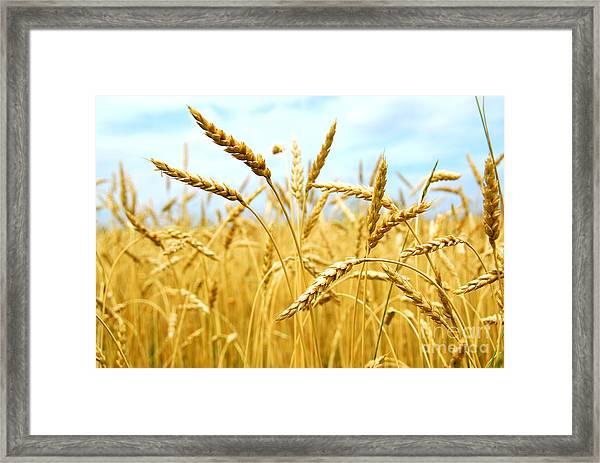 Grain Field Framed Print