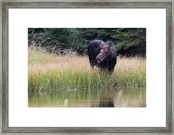 Grand Teton Moose Framed Print