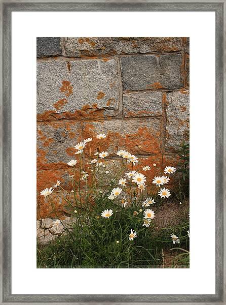 Granite Daisies Framed Print