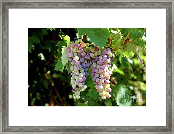 Grapes In Color  Framed Print