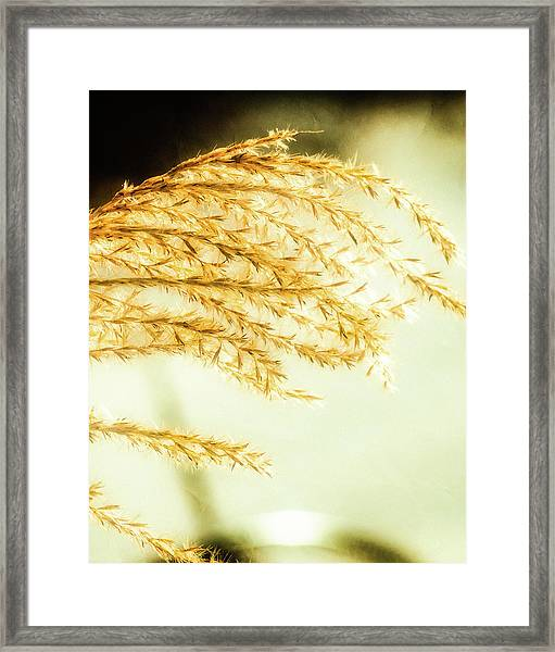 Grasses Of Gold Framed Print