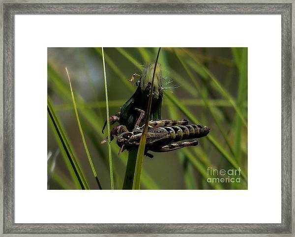 Grasshopper 2 Framed Print