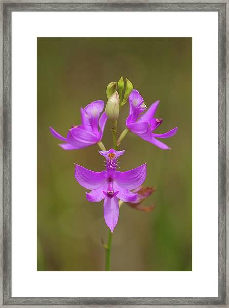 Grasspink #1 Framed Print