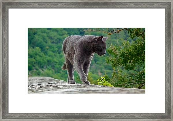 Gray Cat Stalking Framed Print