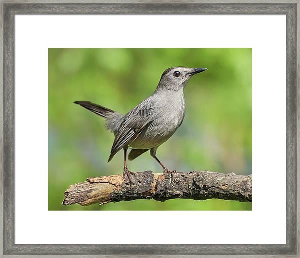 Gray Catbird   Dumetella Carolinensis Framed Print