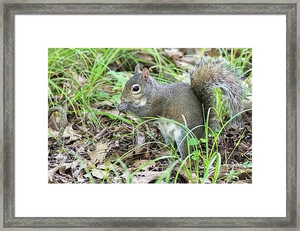 Gray Squirrel Eating Framed Print