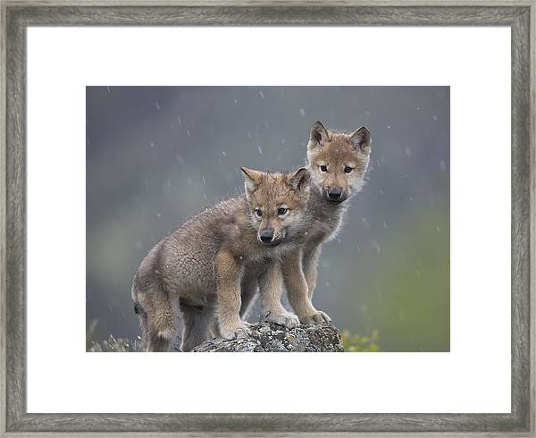 Gray Wolf Canis Lupus Pups In Light Framed Print