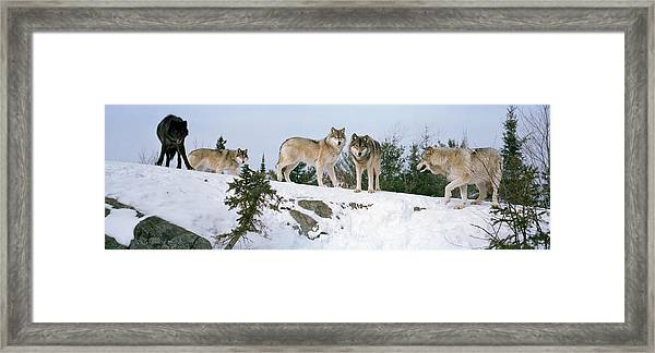 Gray Wolves Canis Lupus In A Forest Framed Print