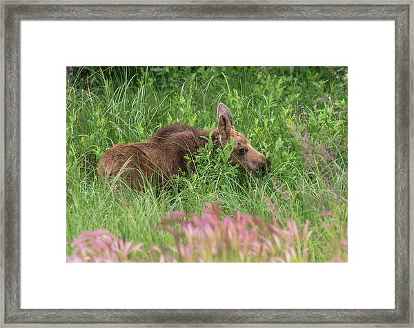 Grazing Baby Moose Framed Print
