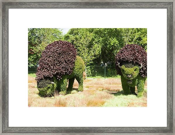 Grazing Buffalo 3 Framed Print