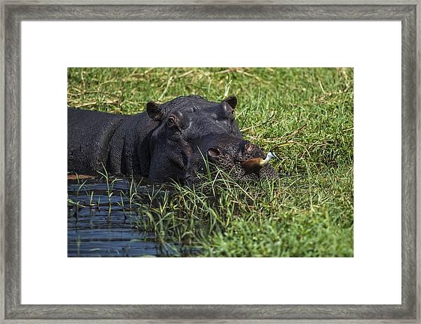 The Hippo And The Jacana Bird Framed Print