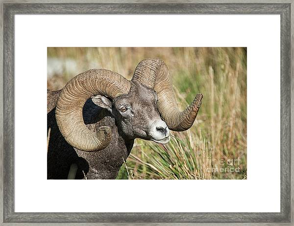 Grazing In The Grass Framed Print