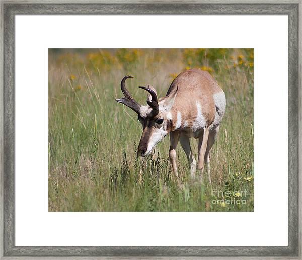 Grazing Pronghorn Framed Print