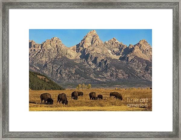 Grazing Under The Tetons Wildlife Art By Kaylyn Franks Framed Print