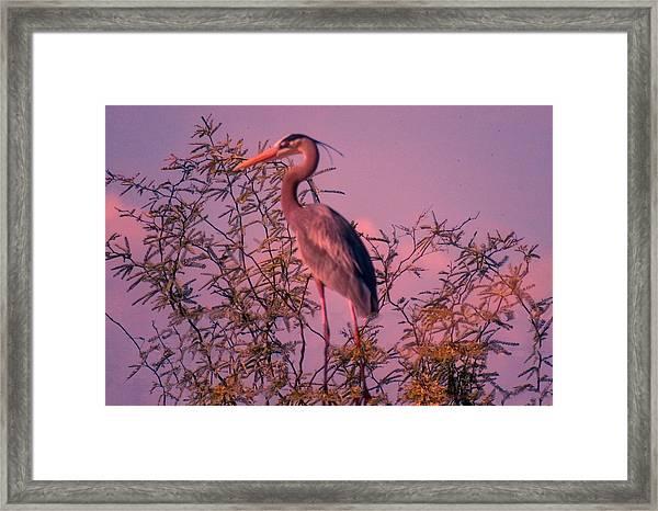 Great Blue Heron - Artistic 6 Framed Print