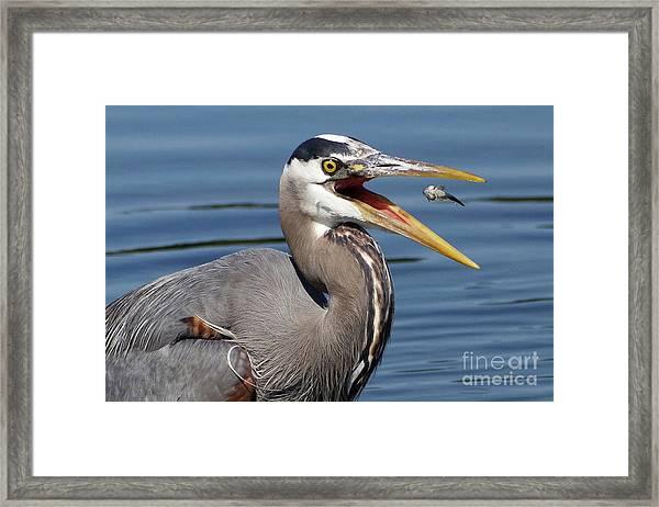Great Blue Heron Feast Framed Print