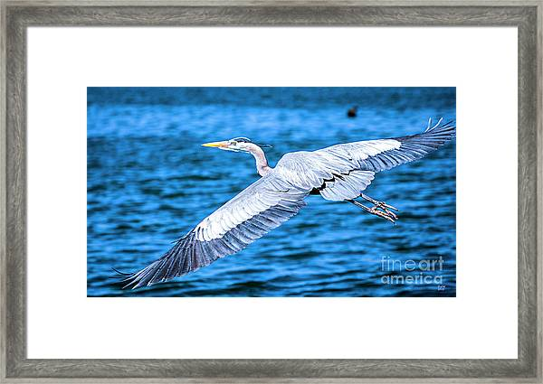 Great Blue Heron Flight Framed Print