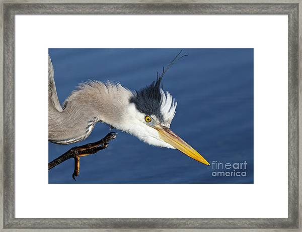 Great Blue Heron - Good Scratch Framed Print
