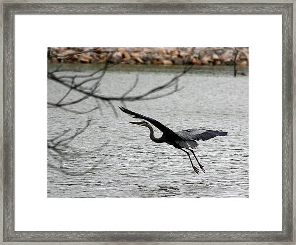 Great Blue Heron In Flight 6 Framed Print